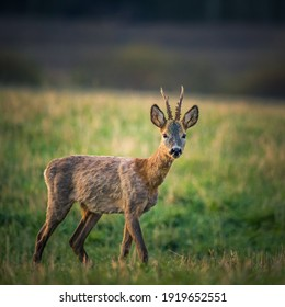 A beautiful portrait of young adult roe deer buck during spring sunrise. Springtime scenery of a male roe deer.