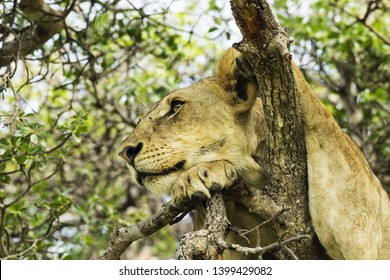 A beautiful portrait of a young lion male resting on a tree branch in the Mikumi NP, Tanzania. This gorgeous endangered animal is iconic for African savannah and often sighted safari tours.