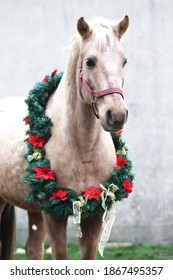 Beautiful portrait of a young saddle horse in christmas wreath decoration christmas time