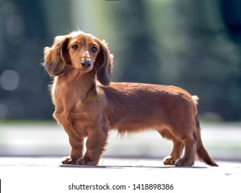 beautiful portraits of long-haired and smooth-haired dachshunds