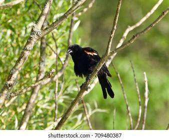 Beautiful postcard with a blackbird sitting
