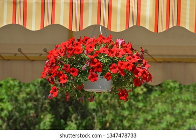 Beautiful pot with many bright red petunia