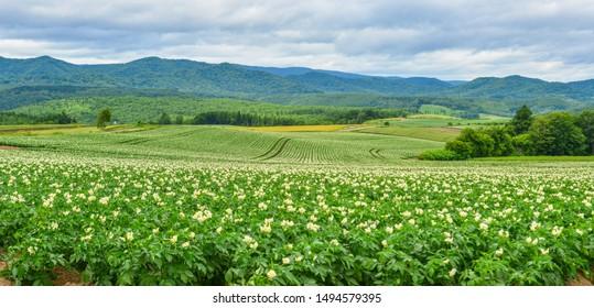 Beautiful potato field with flowers at summer day in Furano Township, Hokkaido, Japan.