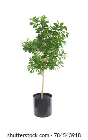 Beautiful Potted Dwarf Nidita Ficus Isolated on White