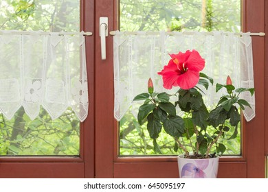 Beautiful potted red Hibiscus flower on windowsill in interior of rustic European house