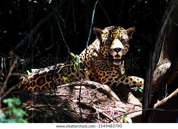 Beautiful power wild Jaguar (Panthera Onca) resting on the river bank.  The Jaguar is looking directly into camera and there is a clear view of it's face.  Pantanal, Brazil