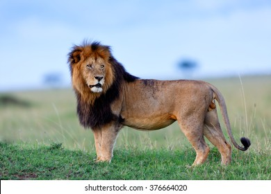 Beautiful and powerful Lion Lipstick of Rekero Pride in Masai Mara, Kenya