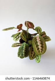 Beautiful Prayer Plant about to open its green and red textured leaves towards the sun, isolated against white background