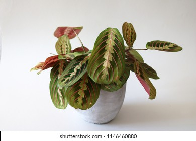 Beautiful Prayer Plant about to open its green and red textured leaves towards the sun, isolated against white background.
