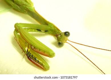 beautiful praying mantis