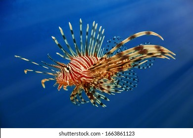 A beautiful predatory Pterois volitans swims in search of food in blue water. Underwater shooting. Selective focus, motion blur