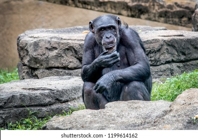a beautiful primate chimpanzee appears to be thinking deeply