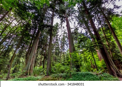 A Beautiful Primeval Rain Forest with Mystical Cedar Trees Covered with Moss in the Pacific Northwest.