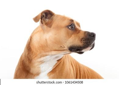 beautiful profile american staffordshire dog isoalted on white background