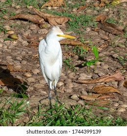 A beautiful profile of a cattle egret with only one leg standing on a thick tree root and withered leaves lying around it. The one leg does not disturb this creature from living.