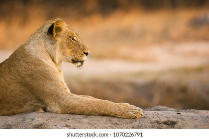 A beautiful profile colour image, of a lioness Greater Kruger National Park, South Africa.