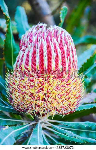 Beautiful Protea Banksia Flower Blooming in Vivid Color