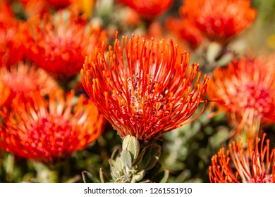 Beautiful Protea blooms