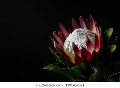 Beautiful Protea on Dark Background