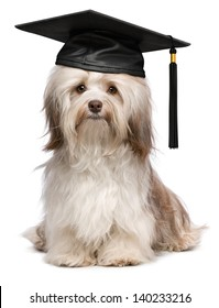 Beautiful proud graduation chocolate havanese dog with black cap isolated on white background