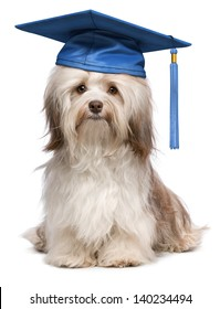 Beautiful proud graduation chocolate havanese dog with blue cap isolated on white background