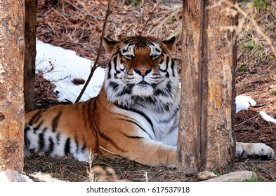 Beautiful, Proud tiger on guard