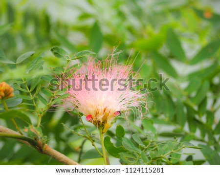 Beautiful Puff Pink Mimosa Flower On Stock Photo Edit Now