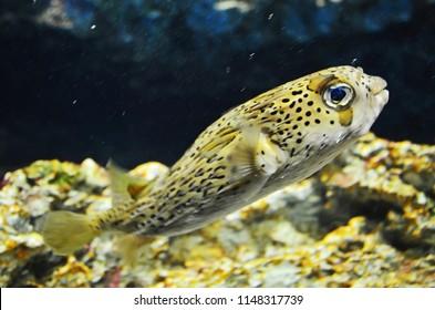 Beautiful pufferfish in aquarium