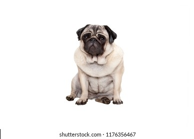 beautiful pug puppy dog sitting down with sweet face, isolated on white background