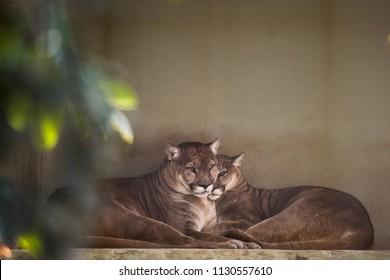 beautiful Puma couple sleeping. Big american cats. South american puma. Two pumas sleeping.