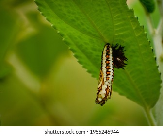 beautiful pupa of yellow coster butterfly. yellow coster butterfly ( acraea issoria )