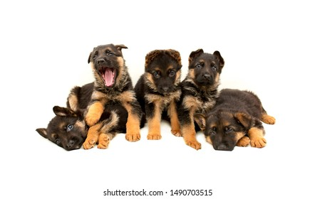 Beautiful puppies German shepherd. A lot of Cute, funny dogs on a white background isolated.