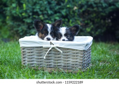 Beautiful puppies of the Papillon breed in the summer garden