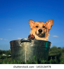 beautiful puppy dog corgi is washed in a metal trough on the street funny stretching out the muzzle with big wet ears in the foam on a hot summer day