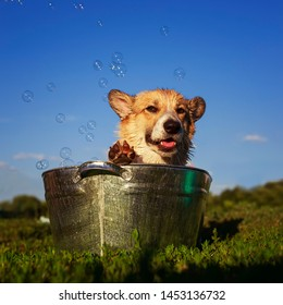 beautiful puppy dog corgi washes and cools in a metal trough outside in the grass ridiculously stretching out big wet ears and tongue in foam and soap on a hot summer day