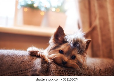 Beautiful puppy lying on a fluffy rug. Little dog looks clever and sad eyes. Man's best friend. Yorkshire Terrier.
