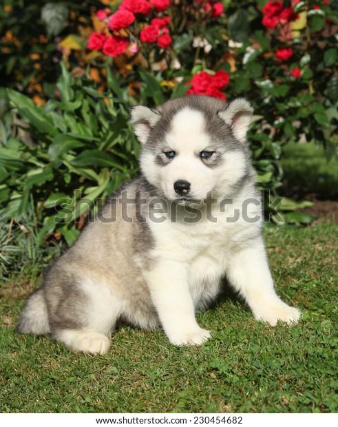 Beautiful puppy of siberian husky sitting in the garden