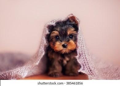 Beautiful puppy sitting under a fluffy scarf.