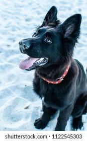 Beautiful pure breed black German shepherd on the beach, selective focus