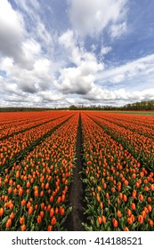 Beautiful pure orange tulip flower farm at Flavoland at tbe North Est of Amsterdam, Netherlands
