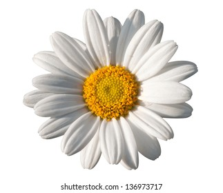 Beautiful pure white daisy with its vivid yellow center isolated on a white background signifying spring