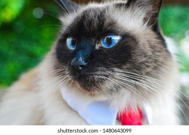 Balinese Cat Isolated Images, Stock Photos & Vectors