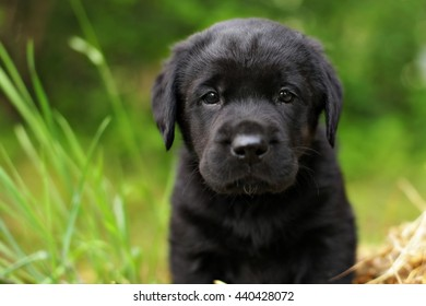 beautiful purebred black puppy dog Labrador summer nature closeup