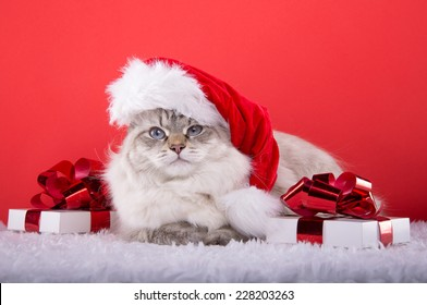 Beautiful purebred cat with Christmas gifts. New year. Christmas animals