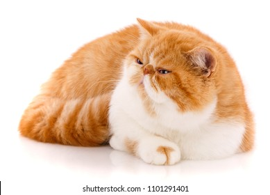 Beautiful, purebred cat. Kitten - portrait of Exotic cat siting on a white background