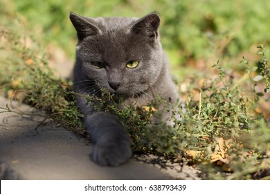 beautiful purebred the cat is walking on the street. lying on the grass. posing for the camera, healthy hair. pet