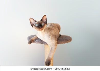 Beautiful purebred Devon Rex male cat.  Cat loves to spending time sitting on scratching post. Cat furniture - scratcher.