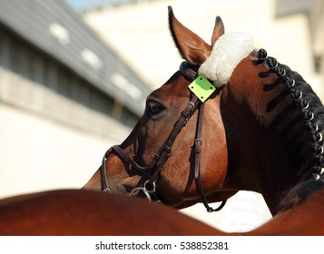 Beautiful purebred dressage horse portrait in dark stable