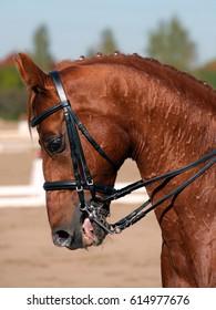 Beautiful purebred dressage horse portrait