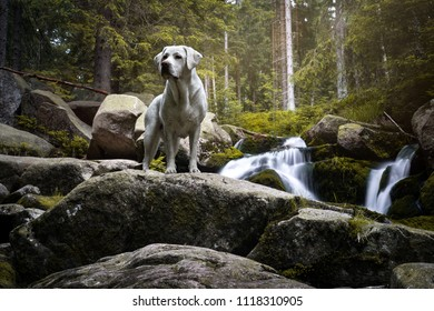 beautiful purebred labrador retriever dog puppy standing in a green forest in front of waterfall